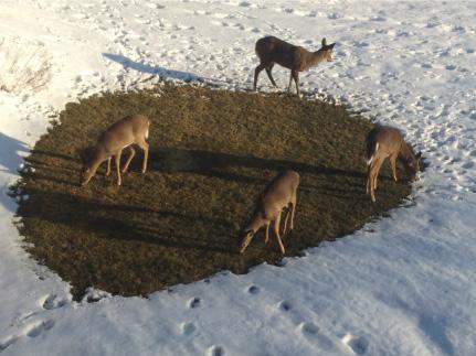 deer-new